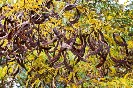 wattle: Seed pods on acacia tree close up in autumn day