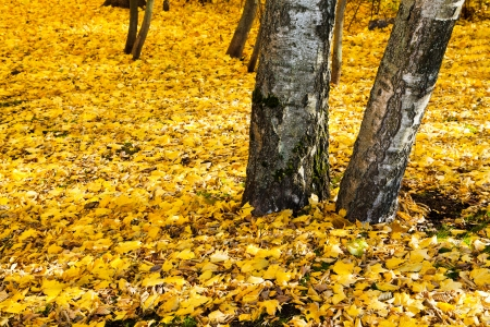 yellow leaf litter under birch trees in autumn forest photo
