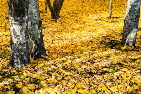 yellow fallen leaves under birch trees in autumn forest photo