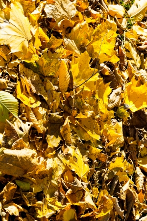 yellow leaf litter in autumn forest in sunny day close up photo