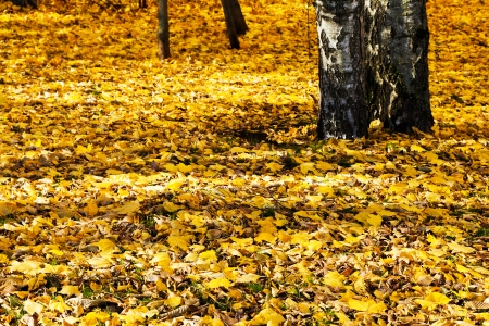 yellow autumn leaves under birch trees in forest photo
