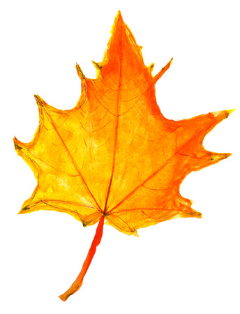 children drawing - yellow and orange autumn maple leaf on white background photo