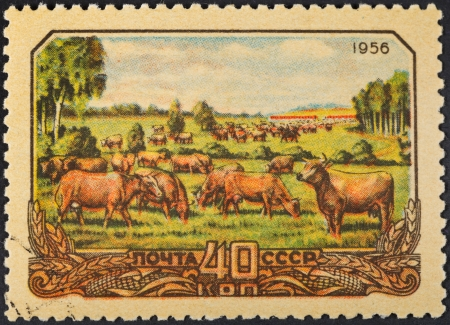 peasantry: USSR - CIRCA 1956: A postage stamp printed in the USSR shows animal husbandry in collective farm peasantry in Soviet Russia, circa 1956