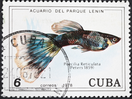 poecilia: CUBA - CIRCA 1978: A postage stamp printed in the Cuba shows Poecilia Reticuata - guppy fish, circa 1978