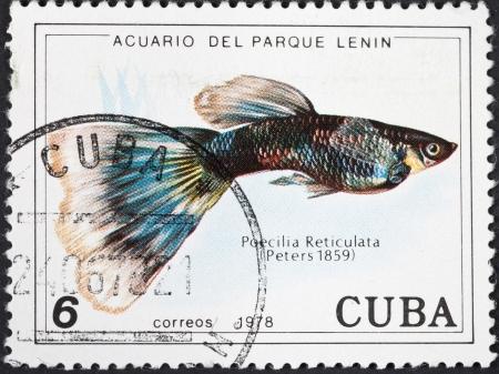 million fish: CUBA - CIRCA 1978: A postage stamp printed in the Cuba shows Poecilia Reticuata - guppy fish, circa 1978