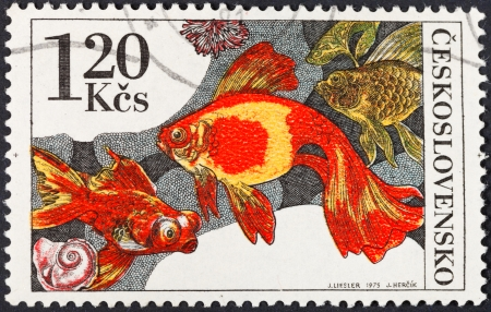 carassius auratus: CZECHOSLOVAKIA - CIRCA 1975: A postage stamp printed in the Czechoslovakia shows the carassius auratus auratus - asian goldfish, circa 1975