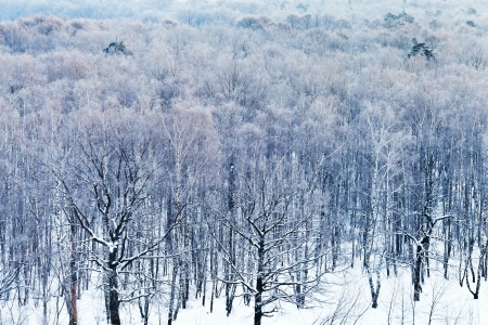 cold blue dawn over snowy forest in winter, Moscow photo