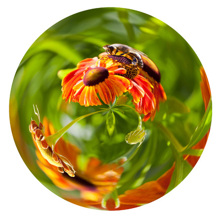 little planet - spherical view of honey bee collecting nectar from gaillardia flower in summer day isolated on white background photo