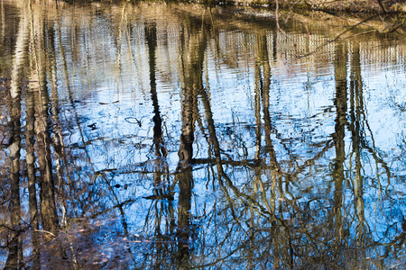 naked trees reflection in pond water in spring day photo