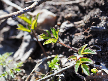 green leaves of young tree sprout in black soil close up in spring Stock Photo