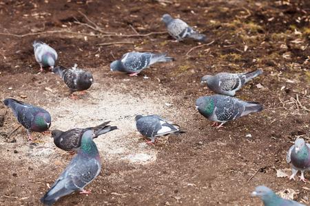 peck: urban pigeons peck grains in spring
