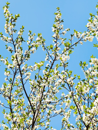 sprigs: many sprigs of blossoming cherry on blue sky background