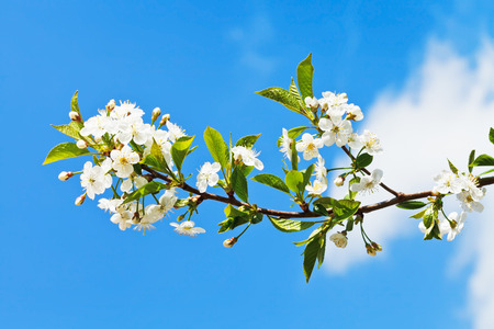 sprig of flowering cherry on blue sky background photo