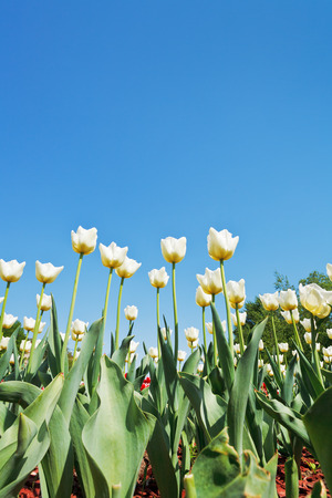 bottom view of white tulips on flowerbed on blue sky background photo