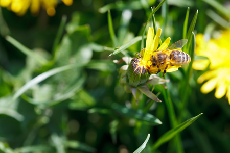 bee sips nectar from yellow dandelion flower close up on summer meadow photo
