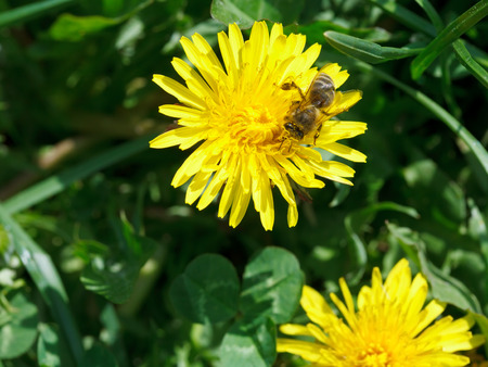bee collects blossom dust from yellow dandelion flower close up on summer meadow photo
