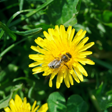 bee collecting nectar from yellow dandelion flower close up on summer meadow photo