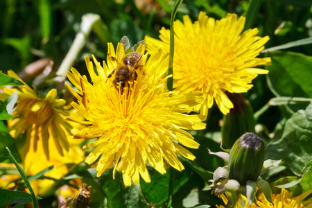 bee gathering pollen from yellow dandelion flower close up on summer meadow photo