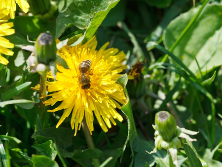 bee gathering nectar from yellow dandelion flower close up on summer meadow photo