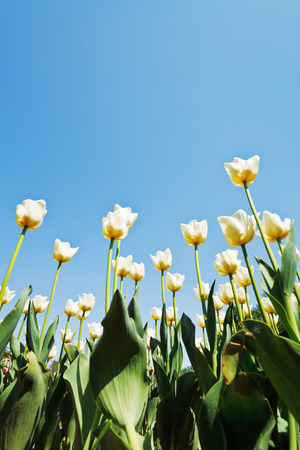 view from below of decorative tulips on flower bed on blue sky background photo
