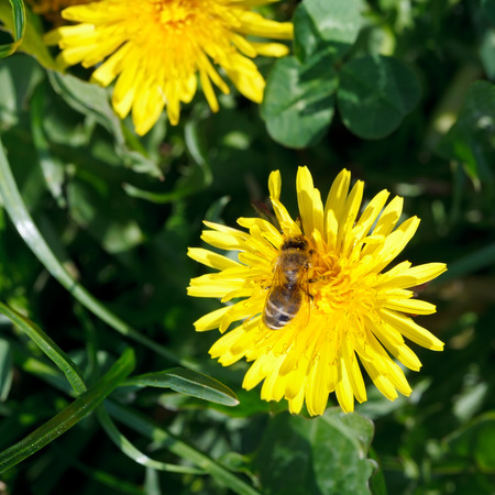 bee gathering blossom dust from yellow dandelion flower close up on summer meadow photo