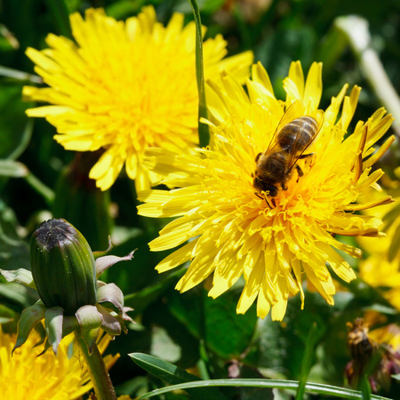 bee eating nectar on yellow dandelion flower close up on summer meadow photo
