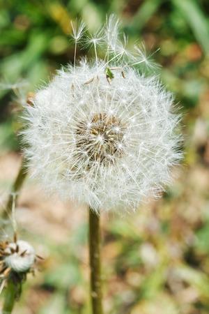 blowball: parachute seeds of dandelion blowball close up
