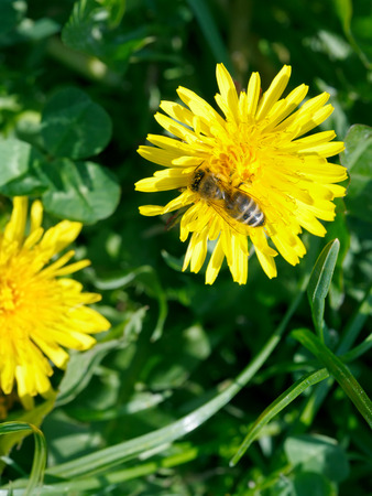 bee collecting blossom dust from yellow dandelion flower close up on summer meadow photo