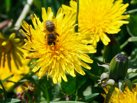 bee feeds on yellow dandelion flower close up on summer meadow photo