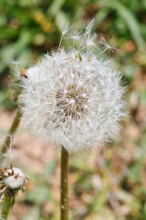 blowball: seed head of taraxacumn blowball close up in summer