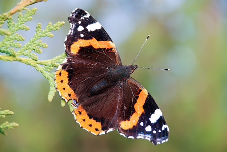 lepidopteran: Red Admiral (Vanessa atalanta) colourful butterfly