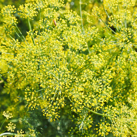 kuban: above view of yellow flowers on blooming dill in garden in summer Stock Photo