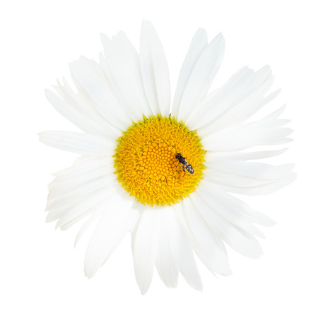 oxeye: decorative Ox-eye daisy flower with fly close up isolated on white  Stock Photo