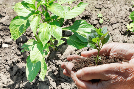 agrarian: green sprout in male hands with garden