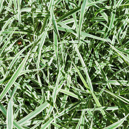carex: green blades of Carex morrowii Variegata decorative grass in sunny day