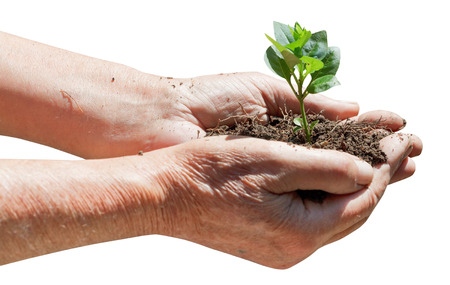 agrarian: old man handful with soil and green sprout isolated on white