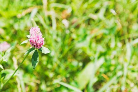 trifolium: red clover flower (Trifolium pratense) on green meadow in summer day Stock Photo