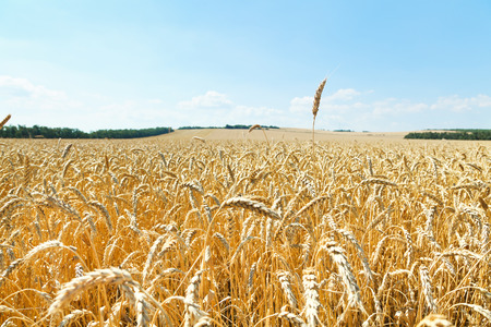 agrarian: ear over ripe wheat field in caucasus region in summer day