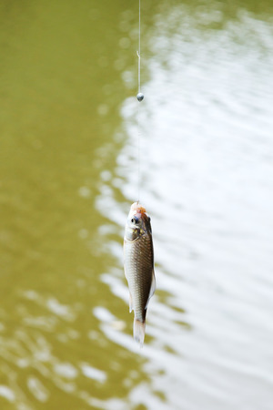 kuban: fished out of river small bream hanging on the line, Kuban, Russia