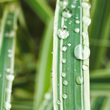 carex: rain drops on green blades of carex morrowii japonica close up
