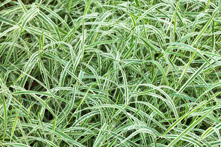 carex: natural  from wet green blades of Carex morrowii japonica decorative grass after rain