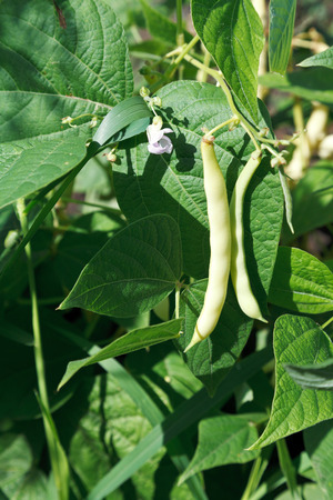 garden bean: ripe pods of string bean plant in garden in summer