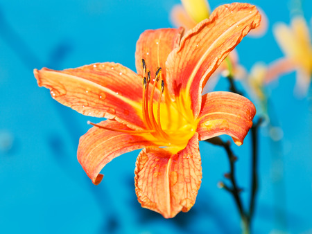 orange flower of lily close up outdoors with blue background photo