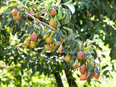 kuban: branch with ripe pear fruits on tree in garden in summer day