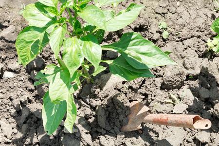 bush pepper: hilling of bush bell pepper in garden
