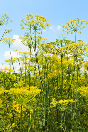 kuban: bottom view of flowering dill herbs in garden with blue sky background Stock Photo