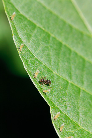 tending: one ant tending several aphids on edge of walnut tree leaf close up