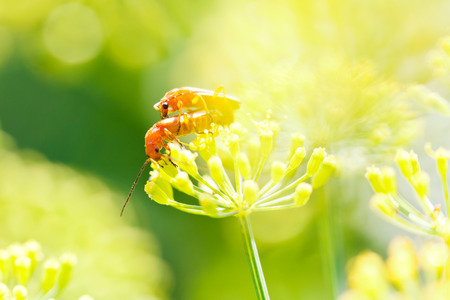 incest: two soldier beetles on dill plant in garden in summer day