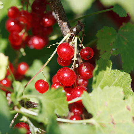 ribes: redcurrant berries close up in green leaves in garden in summer day