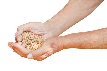 male hands hold handful with wheat grains isolated on white background photo